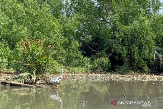 Berjibaku merestorasi mangrove di Suaka Margasatwa Muara Angke