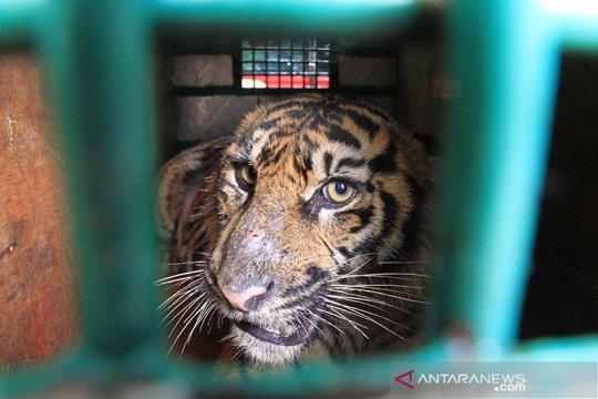 Berburu mangsa, seekor harimau sumatera masuki perkampungan warga Siak