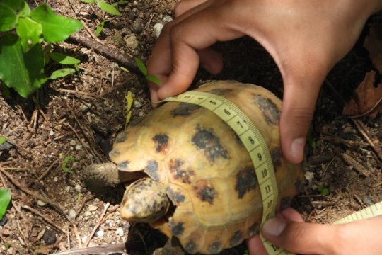 LIPI diminta bantu kura-kura hutan Sulawesi jadi satwa dilindungi