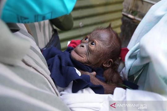 Bayi orangutan lahir di Gembira Loka Zoo Yogyakarta