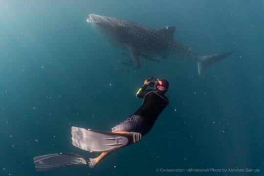 BBTN Teluk Cenderawasih dan CI bangun basis data populasi hiu paus
