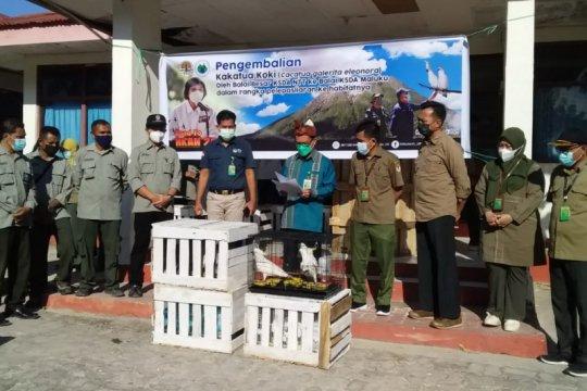 23 kakatua koki dikembalikan ke habitat alaminya di Maluku