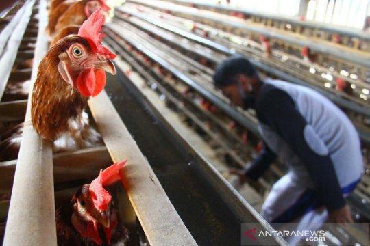 Peternak ayam petelur keluhkan kenaikan harga pakan