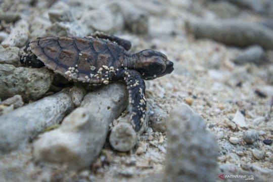 Konservasi penyu sisik di Kepulauan Seribu