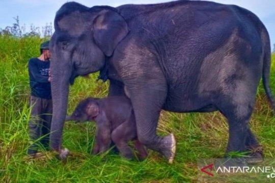 Anak gajah sumatera lahir di Suaka Margasatwa Padang Sugihan