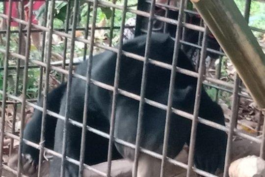 Seekor beruang madu masuk ke perangkap BKSDA Resor Limapuluh Kota
