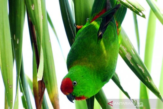 Sudah 109 burung endemik-umum diteliti di hutan Sulawesi Tengah