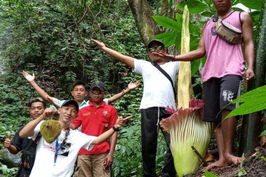 Bunga bangkai raksasa mekar di area wisata Napal Jungur Bengkulu