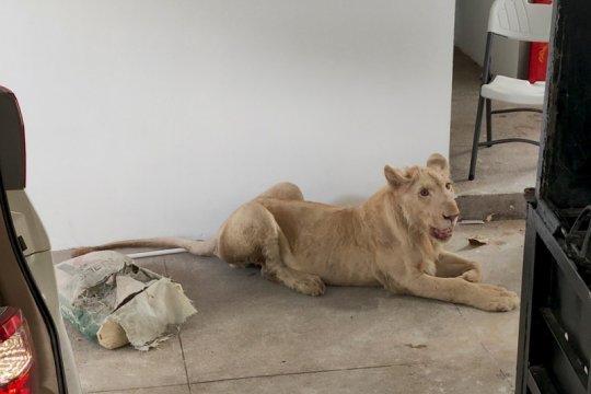 Singa TikTok tanpa cakar diselamatkan di Kamboja