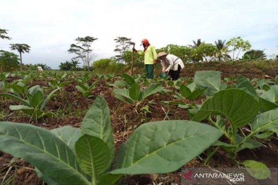Petani Temanggung berharap harga tembakau lebih baik dari tahun lalu