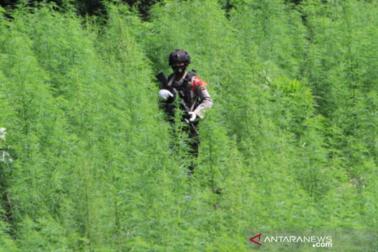 Bareskrim Polri temukan 5 hektare ladang ganja di Nagan Raya Aceh