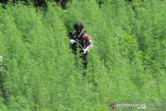 Kemarin, lima hektare ladang ganja ditemukan sampai teroris JAD