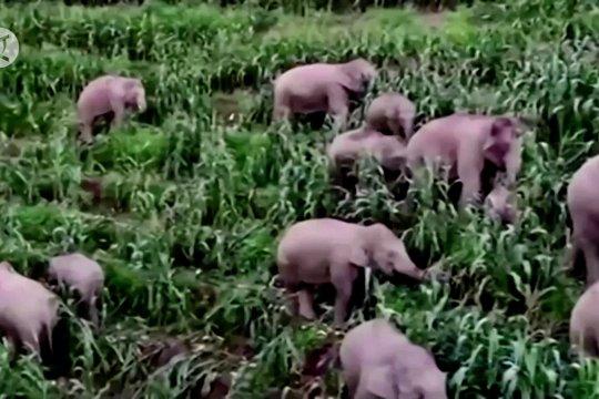 Kawanan gajah tiba di Kunming China setelah berjalan 500 km