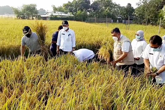 Pemkot Tangerang panen padi bersama warga