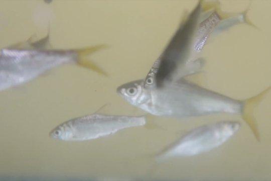 Wagub Sumbar imbau lestarikan ikan bilih Danau Singkarak