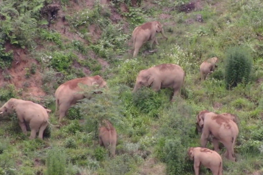 Kawanan gajah yang bermigrasi di China bergerak menuju tenggara