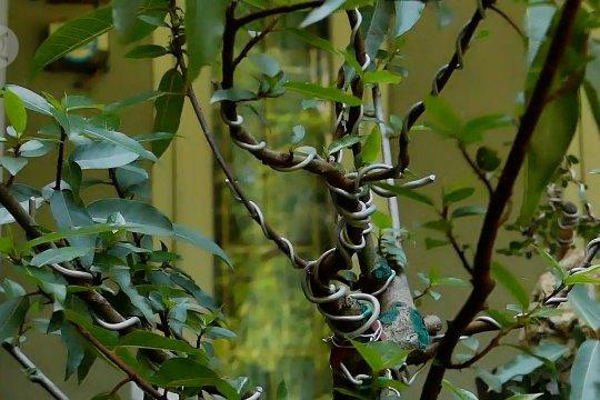 Meraup banyak rupiah dari budi daya bonsai