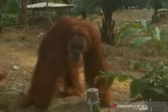 Orangutan masuk perkampungan warga Inhu