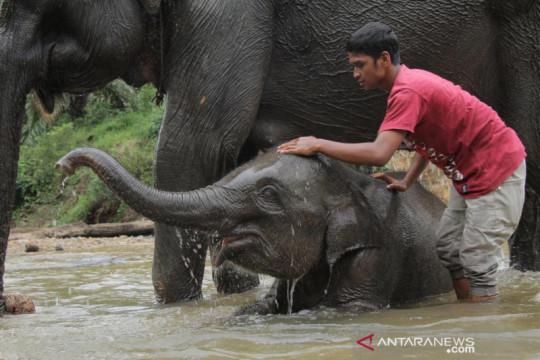 Anak gajah jinak usia empat tahun mati di Aceh