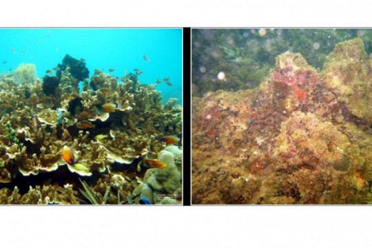 LIPI: Degradasi terumbu karang di Teluk Ambon dampak pembukaan lahan