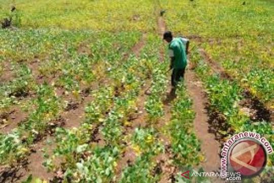Distan Baubau kembangkan kedelai seluas 400 hektare