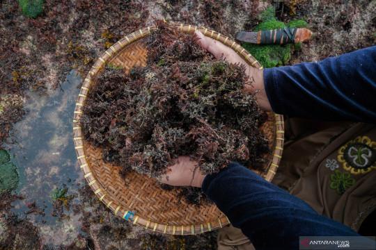 KKP: Produksi rumput laut bisa bantu dongkrak pertumbuhan ekonomi