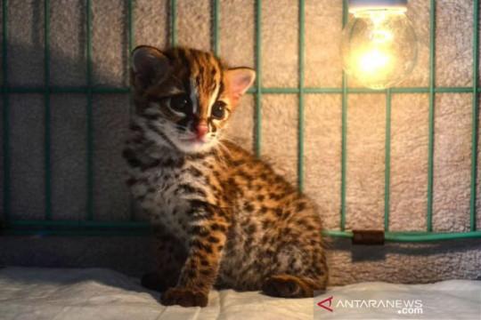 Bayi kucing hutan dirawat BKSDA Riau