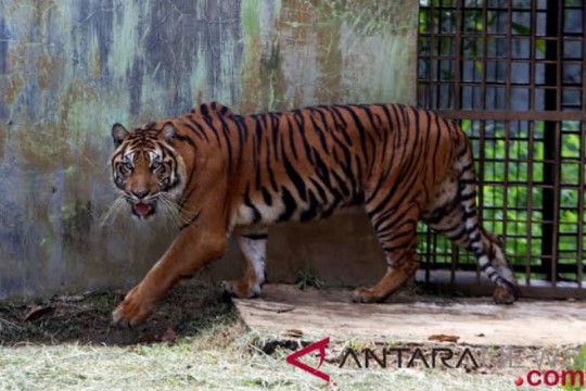 Korban serangan harimau Sumatera dirawat inap di Puskesmas Kampar