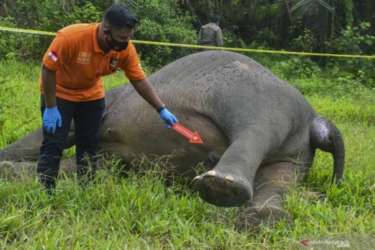 Seekor gajah Sumatra ditemukan mati dibunuh