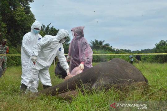 Tim BKSDA temukan racun di bangkai gajah tanpa kepala di Aceh