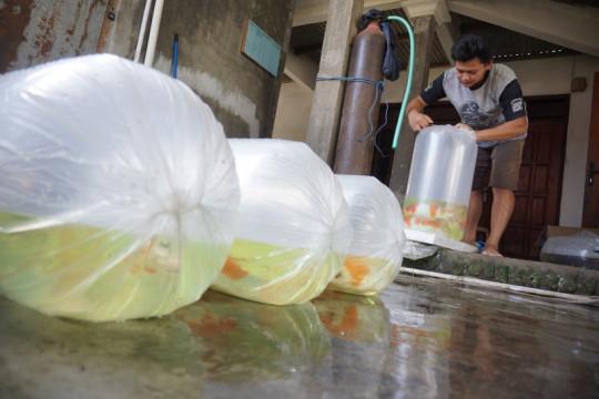 Pedagang ikan hias di Tulungagung sulit dapat oksigen