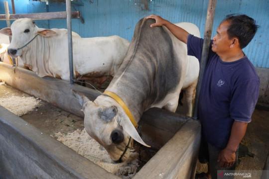 Hewan kurban dari Presiden untuk Parigi Moutong berbobot 964 kilogram
