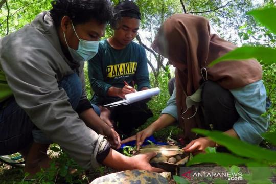 Yayasan Komiu Sulteng sebut kura-kura hutan Sulawesi terancam punah