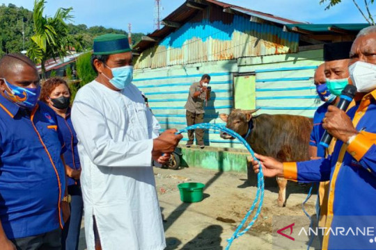 NasDem Papua Barat serahkan 80 ekor sapi kurban untuk muslim Papua