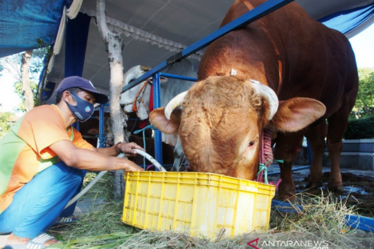 Jokowi berkurban sapi berbobot 1,2 ton di Masjid Al Akbar Surabaya