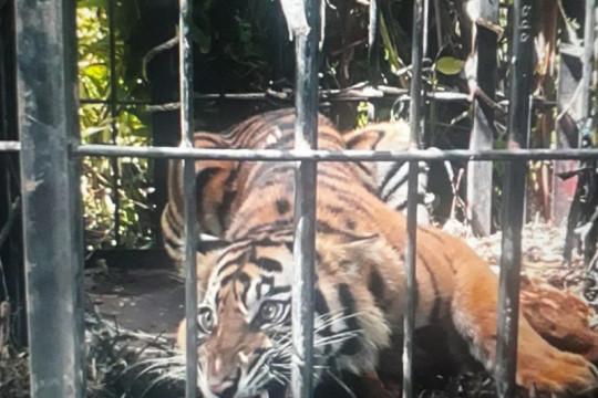 Masuk perangkap, BKSDA selamatkan harimau sumatera di Pasaman Barat