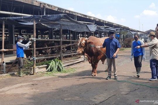 Anies serahkan sapi limousin seberat 1,1 ton kepada Korpri Jaktim