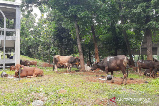 Pemkot Jaksel gelar penyembelihan hewan kurban pada Rabu