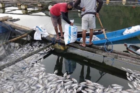 Ribuan ikan nila di Danau Batur Bali mati keracunan belerang