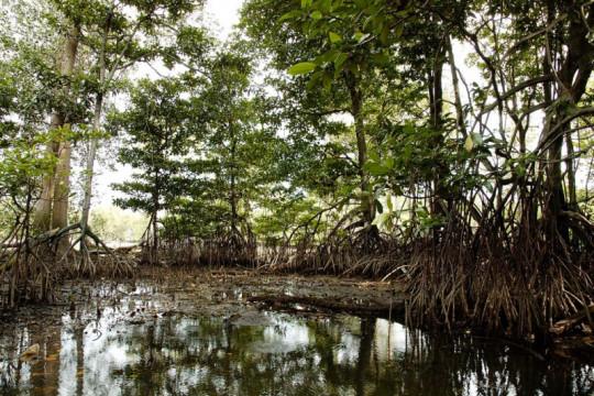 ACB: Hutan mangrove ASEAN lindungi masyarakat hadapi perubahan iklim