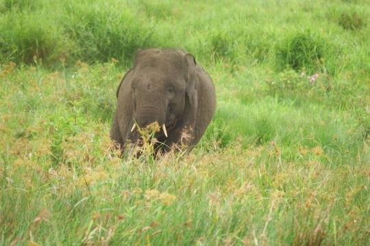 50 gajah di SM Padang Sugihan Kabupaten OKI selamat dari karhutla