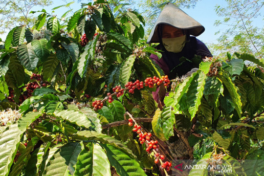 PTPN IX berdayakan ratusan warga untuk panen kopi saat pandemi