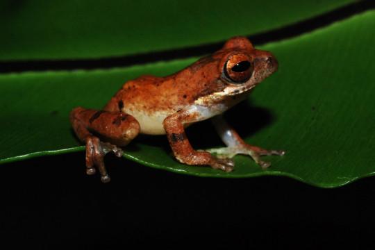 Spesies baru katak-pucat pantai selatan ditemukan di hutan Garut