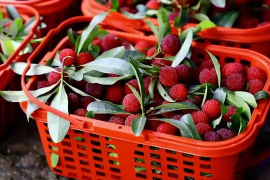 Memetik buah beri yangmei jadi daya tarik wisatawan di Hunan, China