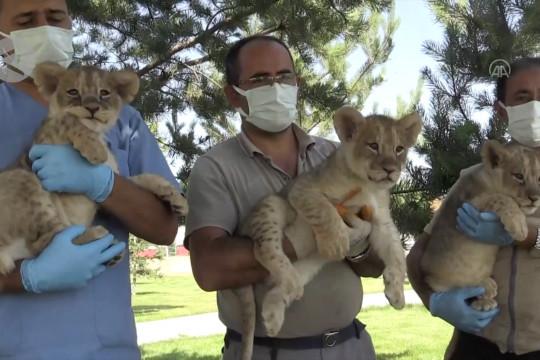 Tiga bayi singa pukau pengunjung sebagai maskot kebun binatang