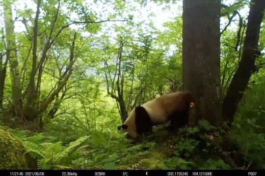 Cagar alam di China abadikan aktivitas panda raksasa liar