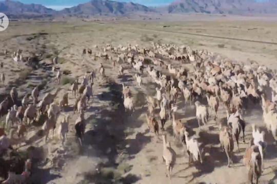 Melihat ratusan unta digembalakan ke padang rumput Jiuquan