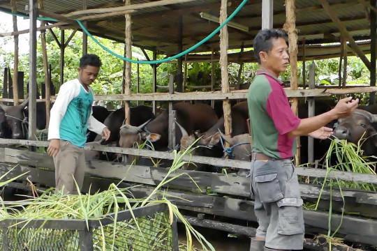 Permintaan sapi kurban di Banjarmasin justru meningkat