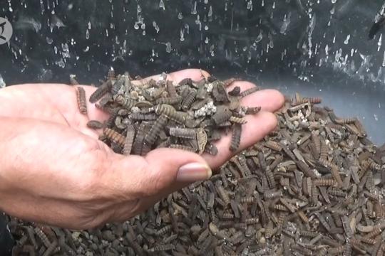 Ulat maggot, pakan lele & ternak ramah lingkungan