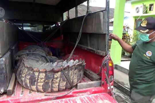 BKSDA Sultra evakuasi buaya muara tangkapan warga
